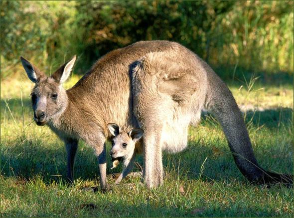 kengur slika1