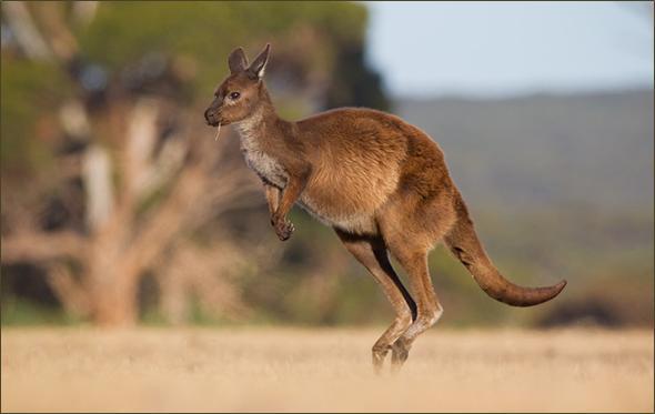 kengur slika2